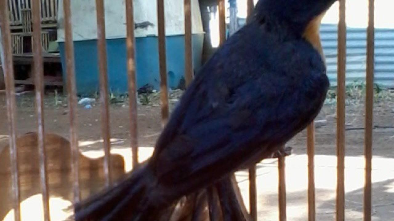 Mengenal Burung Tledekan Lebihdekat