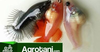 Analisa Usaha Bisnis Ikan Cupang Yang Menguntungkan