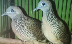 Induk Burung Perkutut