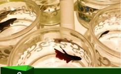 Ternak Ikan Cupang