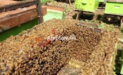 Ternak Lebah Madu