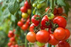 Mitos Atau Fakta? Tomat Bisa Usir Bau Badan