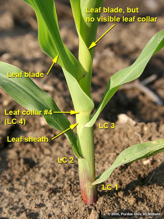 Determining Corn Leaf Stages Corny News Network Purdue