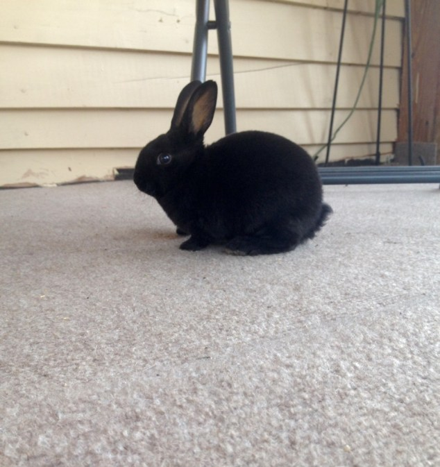 Licorice the rabbit