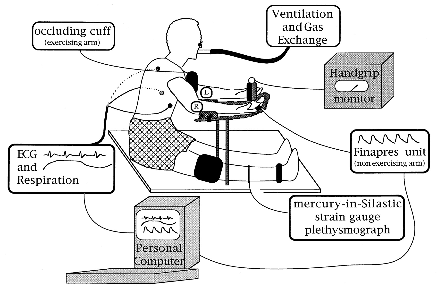 Contribution of Muscle Afferents to the Hemodynamic