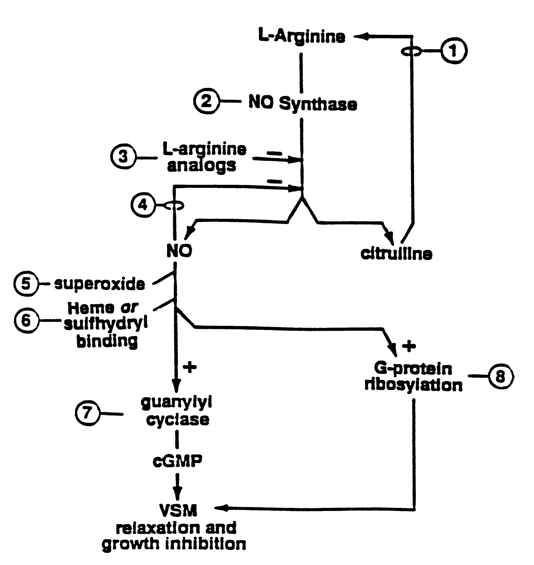 Nitric Oxide And Its Putative Role In Hypertension