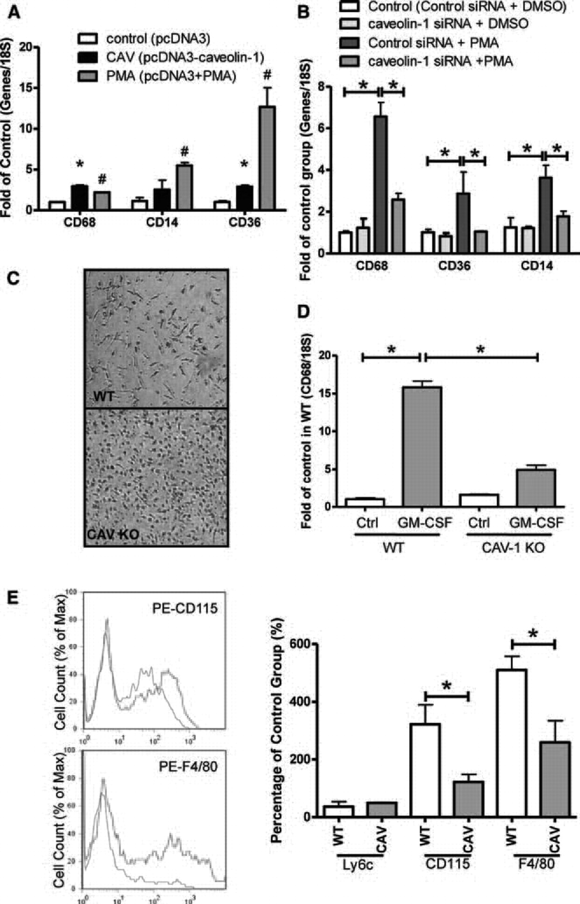Caveolin 1 Plays A Critical Role In The Differentiation Of