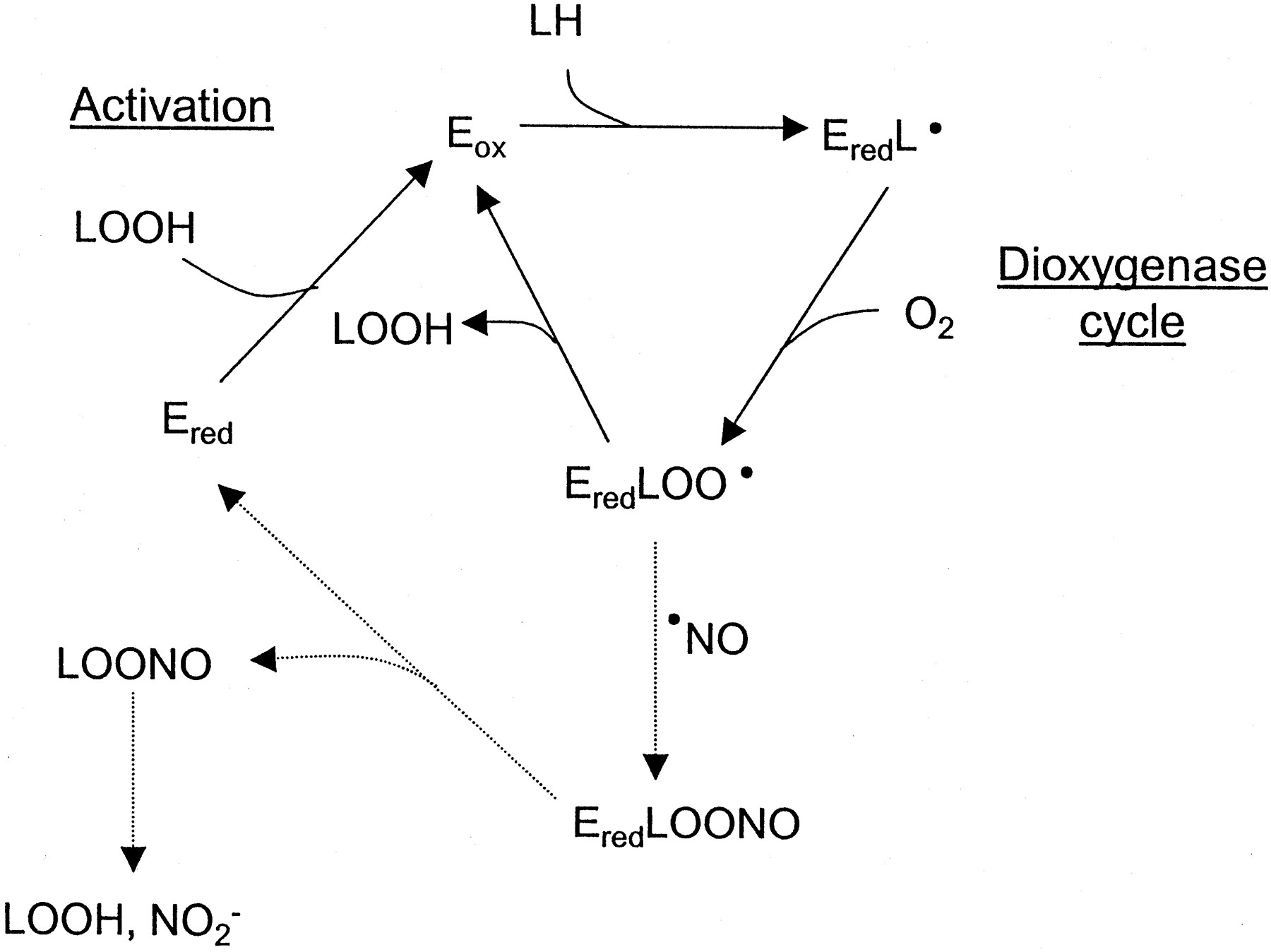 Interactions Between Nitric Oxide And Lipid Oxidation
