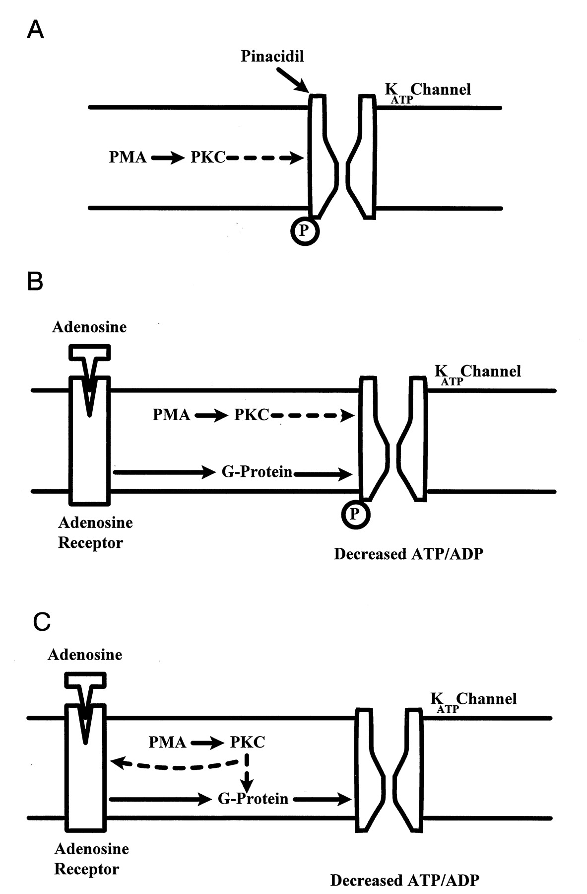 Synergistic Modulation Of Atp Sensitive K Currents By
