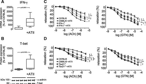 Angiotensin II–Induced Vascular Dysfunction Depends on