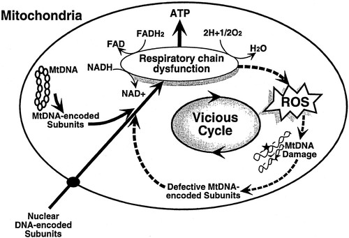 Mitochondrial DNA Damage and Dysfunction Associated With