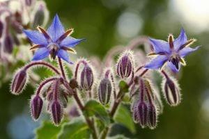Borage flowers close up