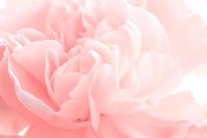 Pretty pink rose, shot close up