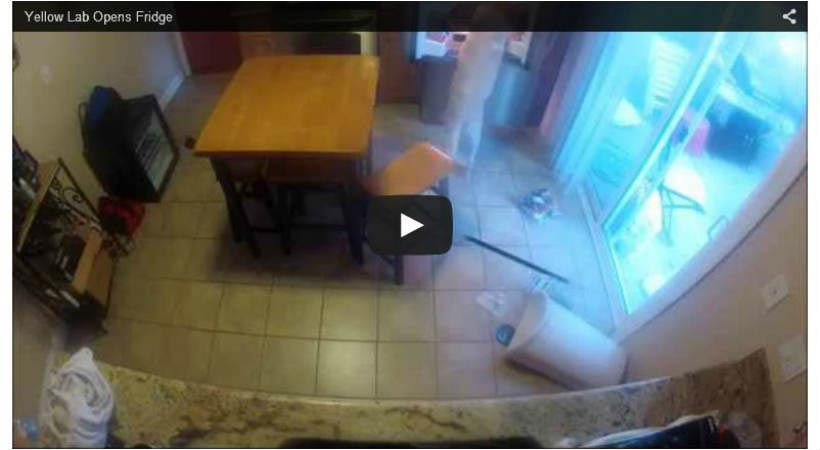 This dog likes his food! Watch as he helps himself to the fridge!