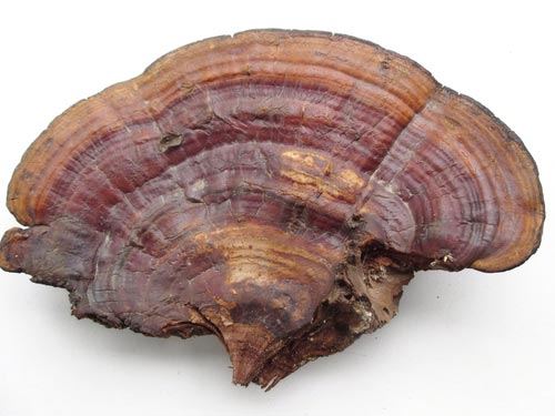 Benefits Of Ganoderma Lucidum