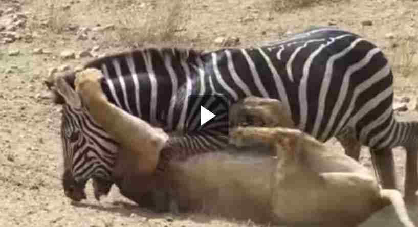 فيديو حمار الوحش ينجو من الأسد بعد عراك أمام رفاقه