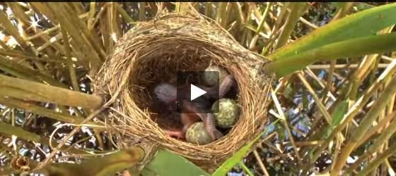 بالفيديو: طائر الوقواق الأناني ... لن تصدقوا كم هو كذلك!!!