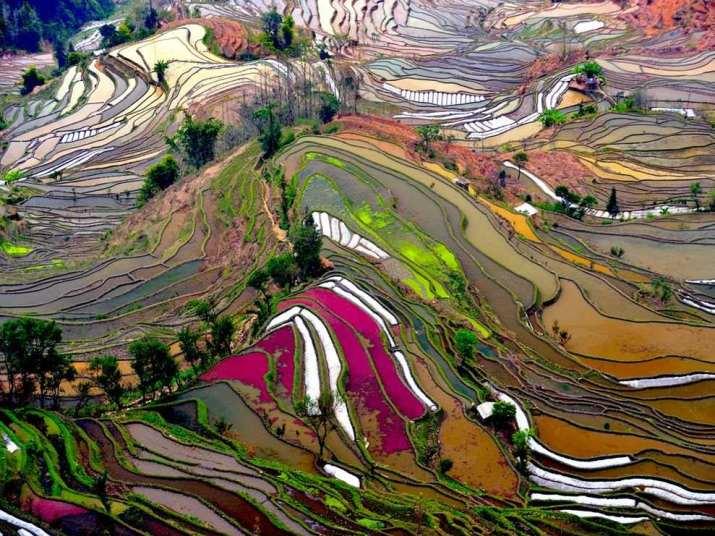 حقول الأرز – الصين