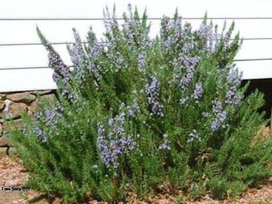 فوائد اكليل الجبل Rosemary اسرار عظيمة في مقال شامل