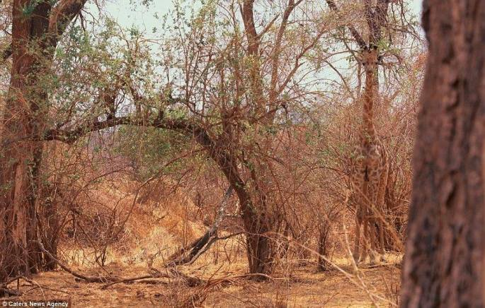 صورة زرافة تستغل الأشجار من حولها للإختباء