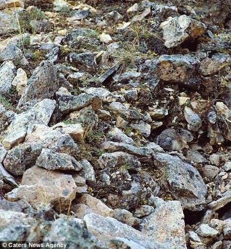 صورة حيوان البيكا الأمريكي