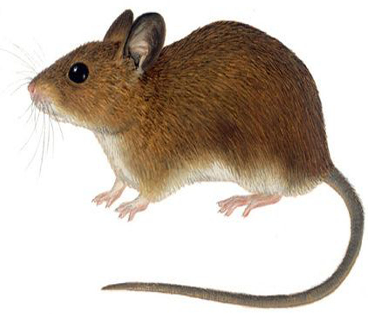 تفسير رؤيه الفار في منام المرأة المتزوجه تفسير حلم الفأر