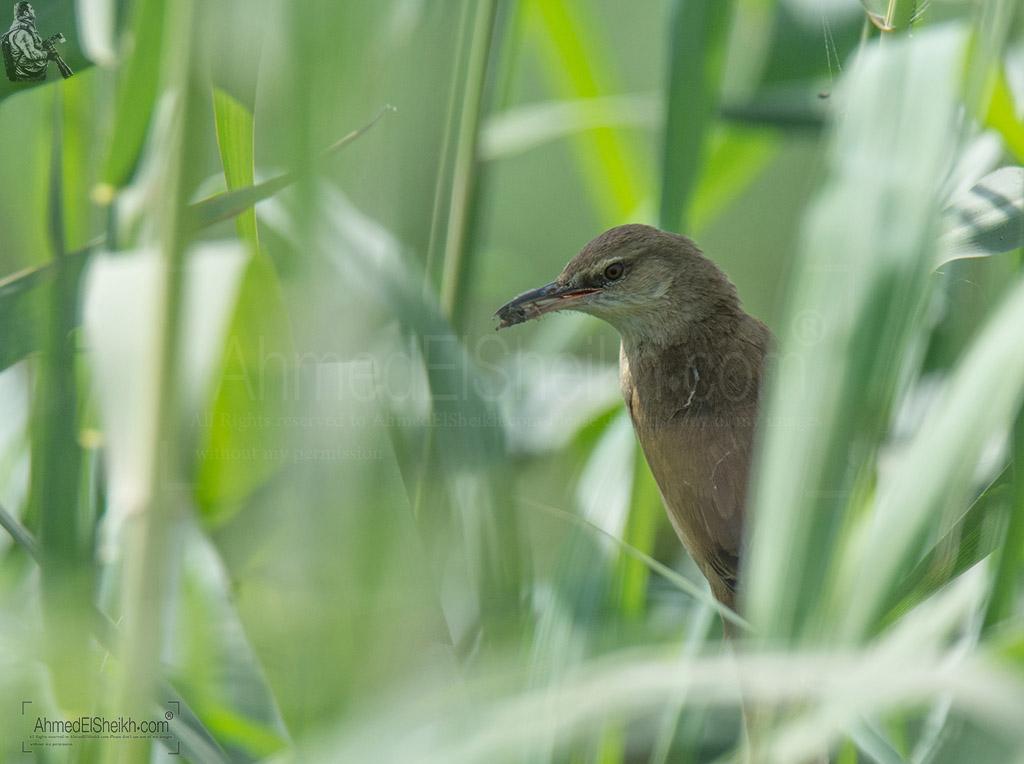 Reed Warbler Bird - هازجة الغاب