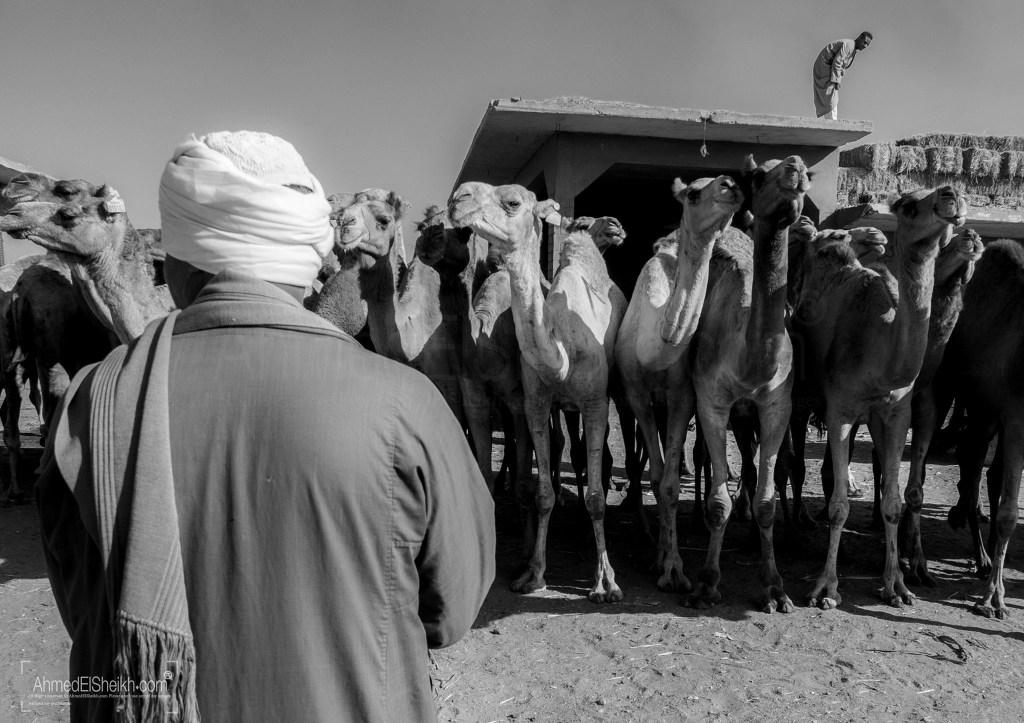 Man Guarding his camels
