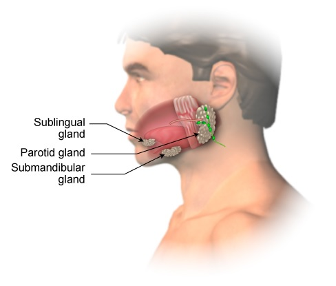 Image result for salivary glands