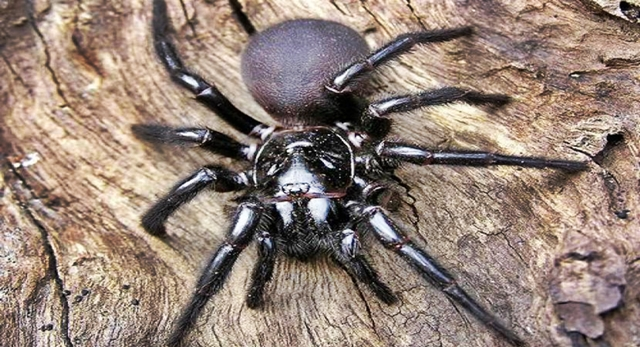 As 8 aranhas mais perigosas e venenosas no mundo