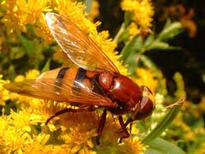 Zweefvlieg: Volucella zonaria (vrouwtje) op gulden roede, Koudekerke, 23 juli 2004 (foto: Albert de Wilde).