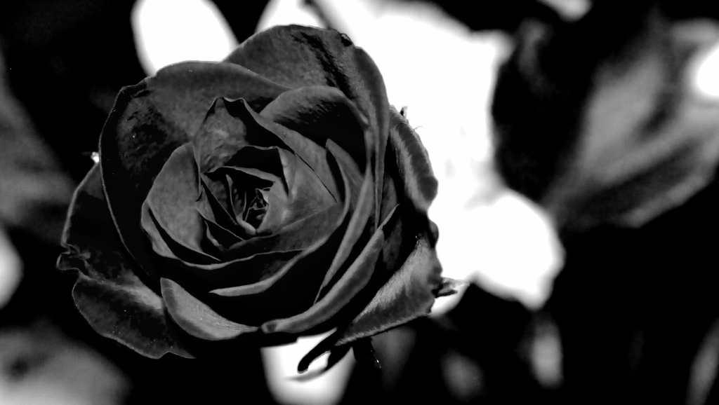 Una rosa nera.