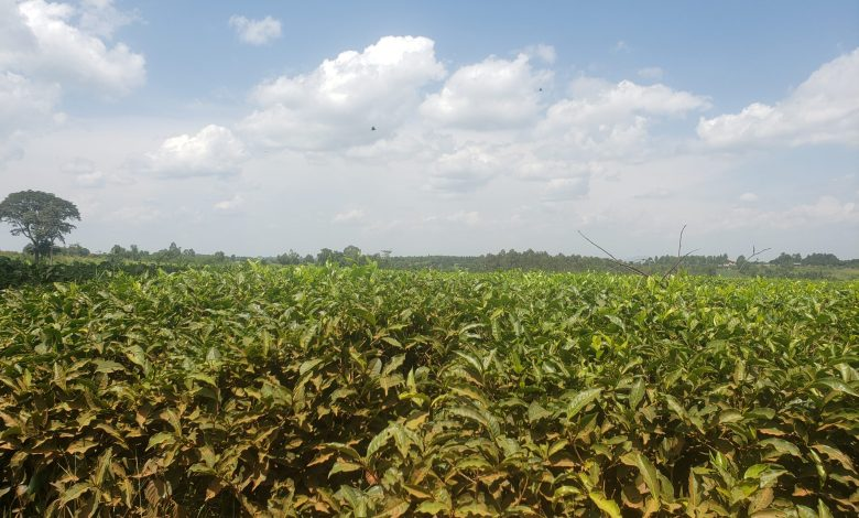 Photo of Child Labour thrives in Uganda's tea plantations