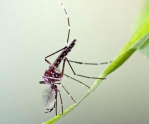 Siklus Demam Berdarah Pada Anak (Pelana Kuda) dan Nyamuk Penyebab Penyakit DB