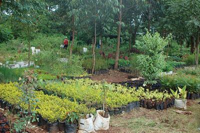 David Mwangi's Roadside Plant and Tree Nursery