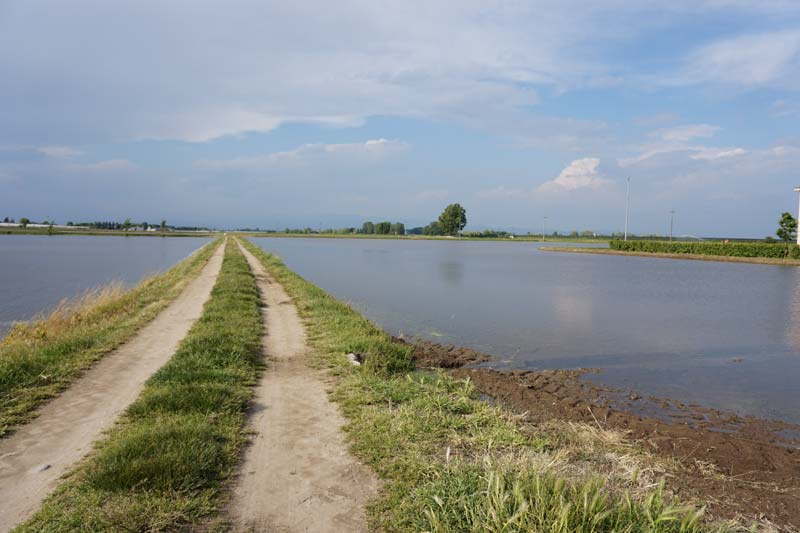 Melotti_campo di riso