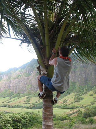 Haole Tourist climbs private coconut tree in Hawaii