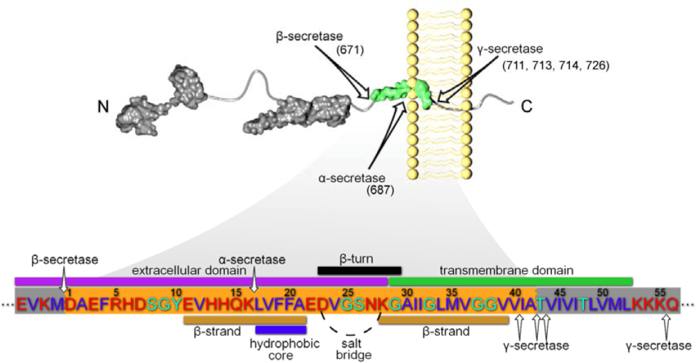 medium resolution of figure 1 app processing and subsequent a amino acid sequence with specific domains of interest specified proteolytic cleavage of app is initiated at