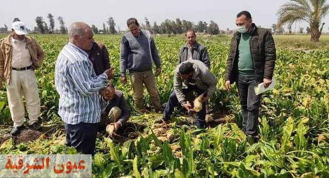 زراعة الشرقية تنفذ يوم حصاد لحقل إرشادي مزروع بمحصول بنجر السكر بقرية السدس بالإبراهيمية