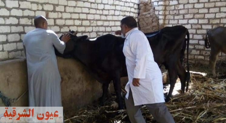 تحصين أكثر من 1,6 مليون رأس ماشية ضد مرض الجلد العقدي وجدري الأغنام
