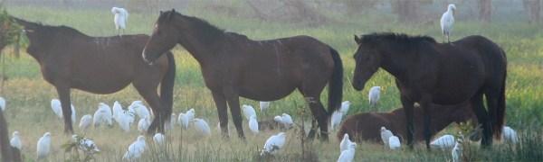 Brumby - free-roaming feral horses in Australia
