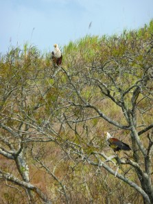 Umlalazi River - African Fish Eagle