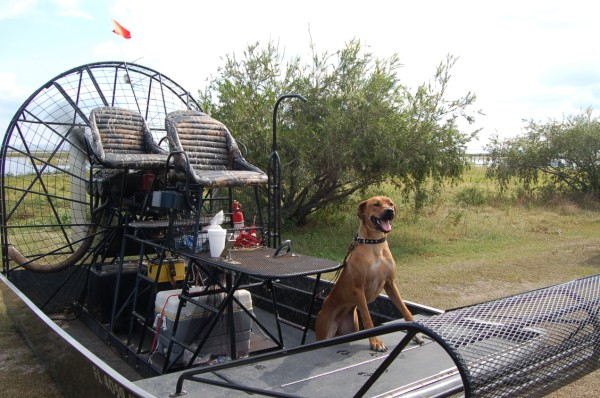 Dogs like riding in cars, and they'll love your airboat.
