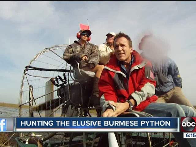 pythons hunted by airboat