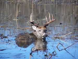 This buck was mired in Rice Lake mud about 400 yards from solid ground.