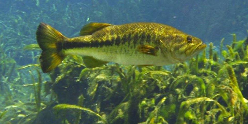 bass fishing everglades