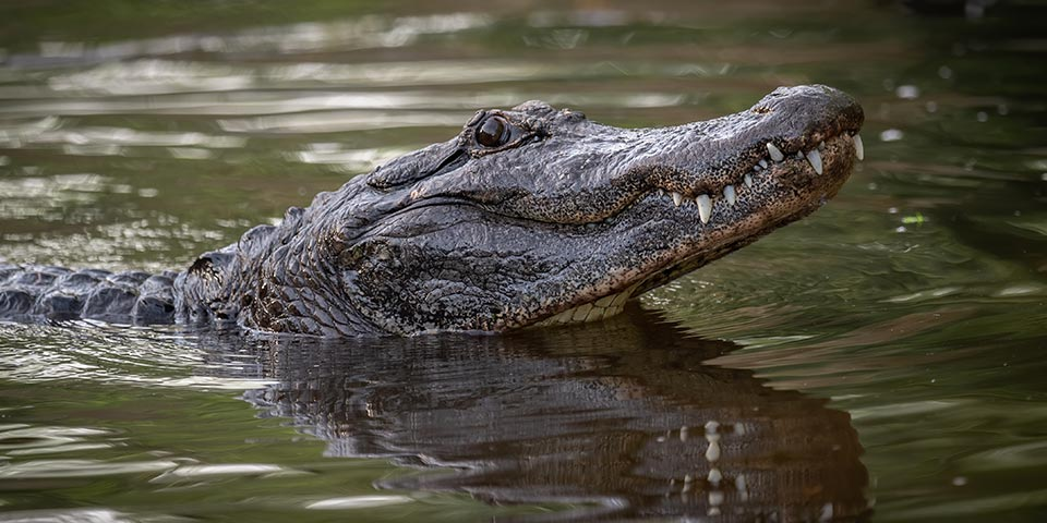 everglades alligators 03