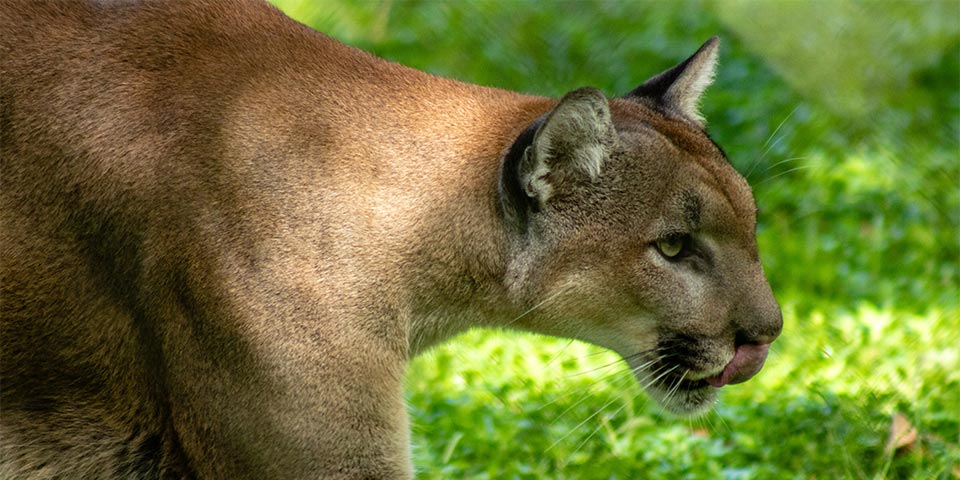 The Florida Panther, Also Known As A Mountain Lion Or Puma