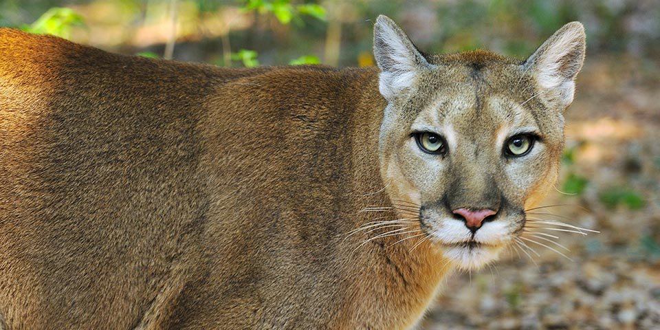 florida panther and the everglades