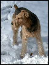 Adopted Airedale enjoyng the snow
